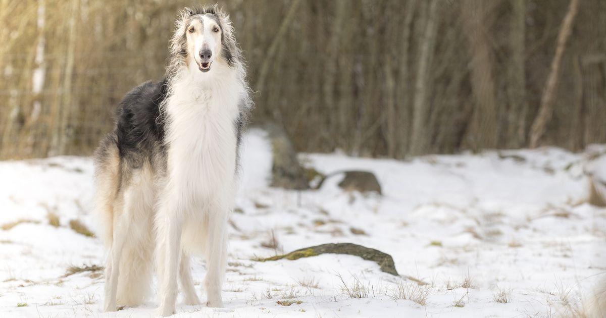 Barzoï chiens grands
