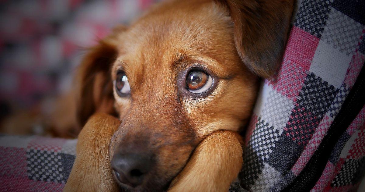 Hyper attachement chien
