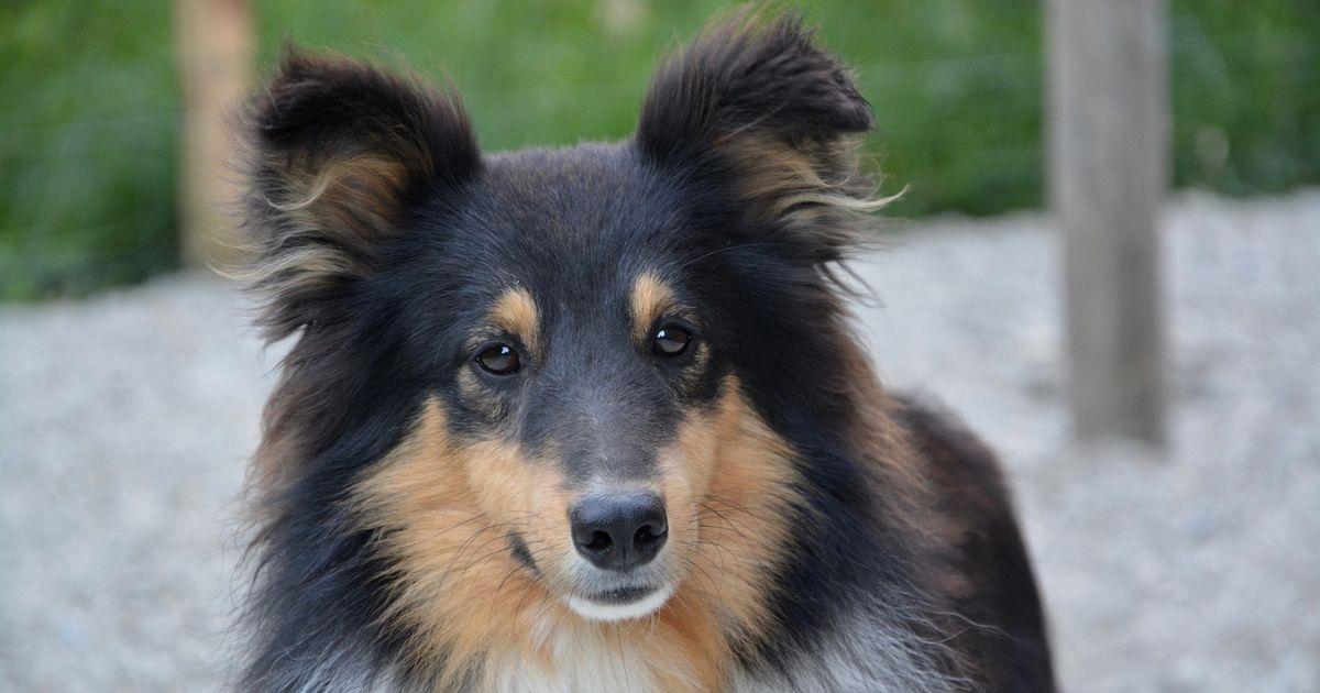 Shetland chiens éduquer