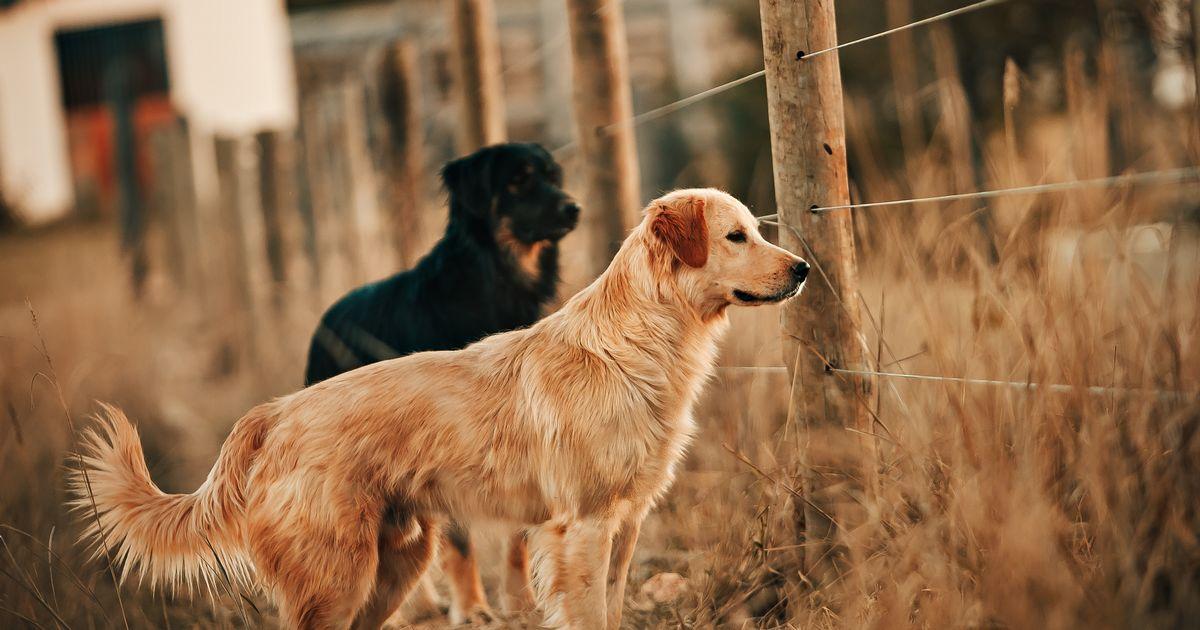 phéromones chiens