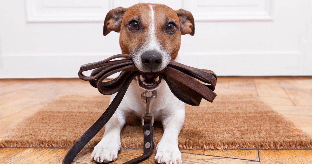 races chiens obéissantes