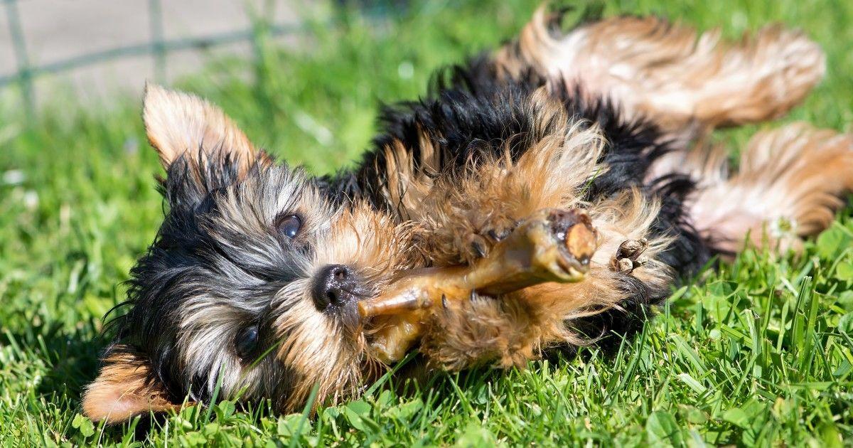Digestion chien