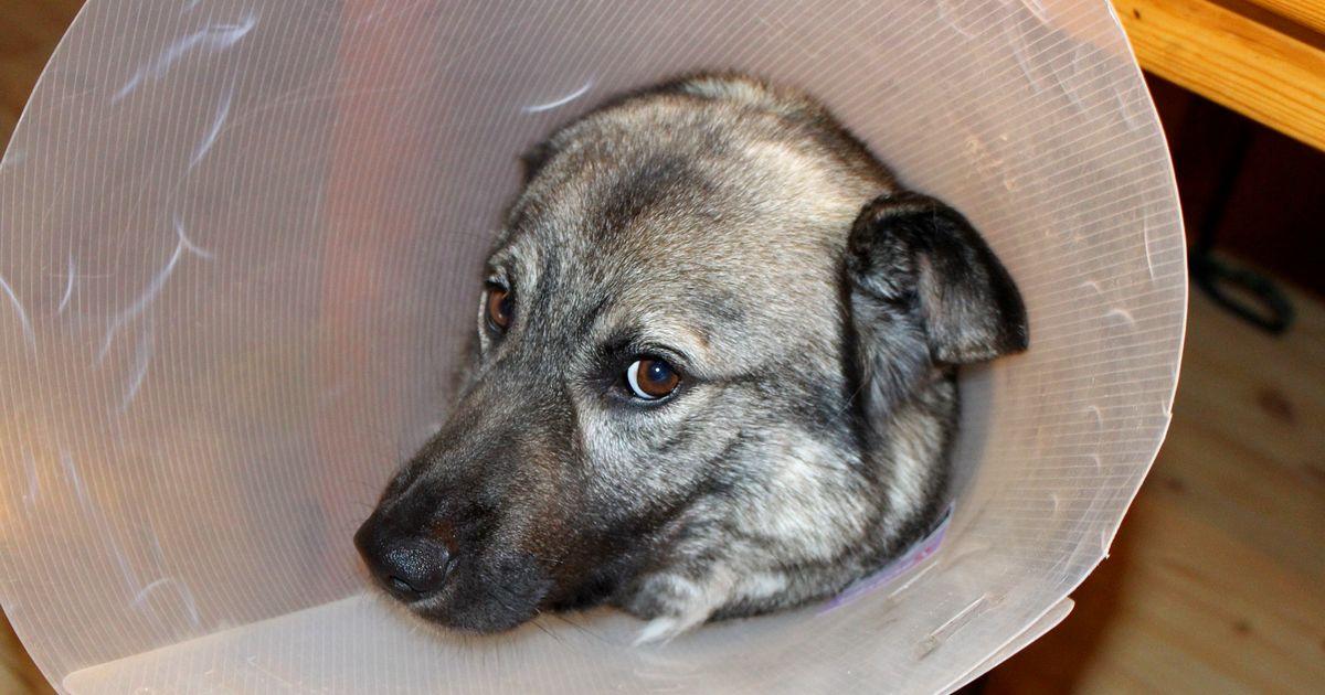 alimentation chien stérilisation