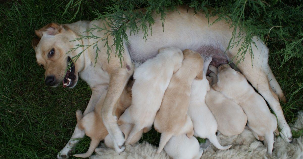 alimentation chienne allaite