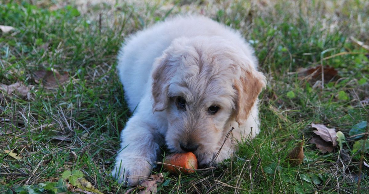 alimentation chienne gestation