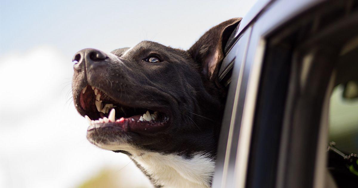Ne pas attacher ton chien en voiture
