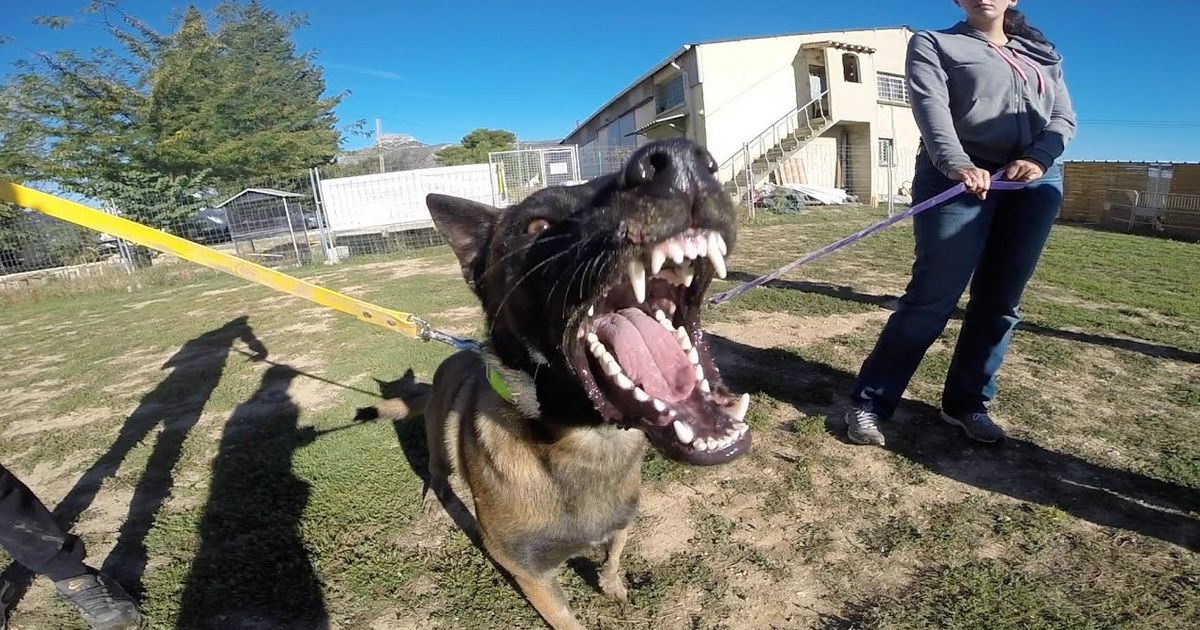 berger belge chien dangereux