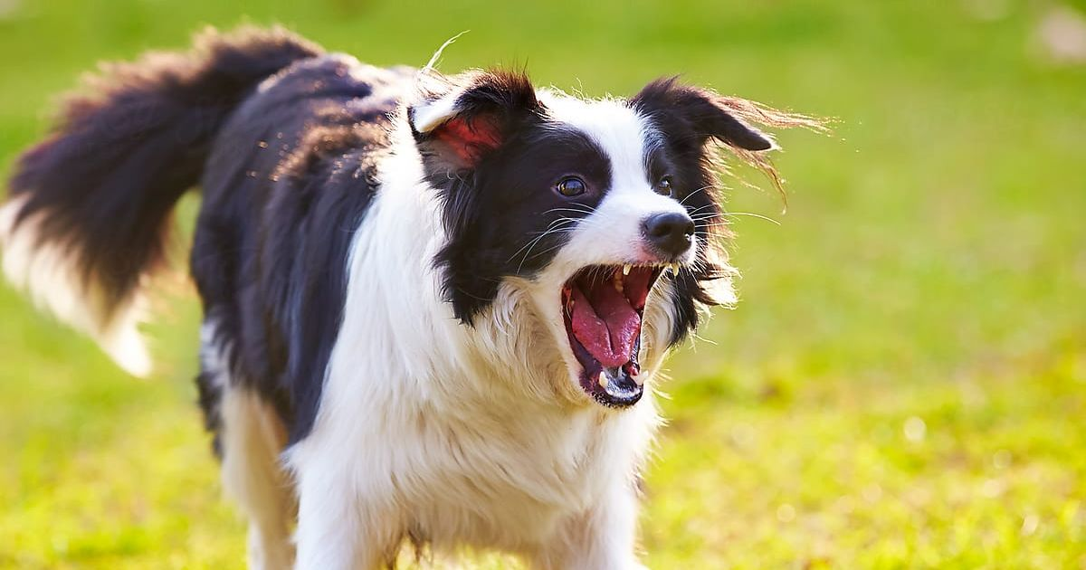 border collie chien dangereux