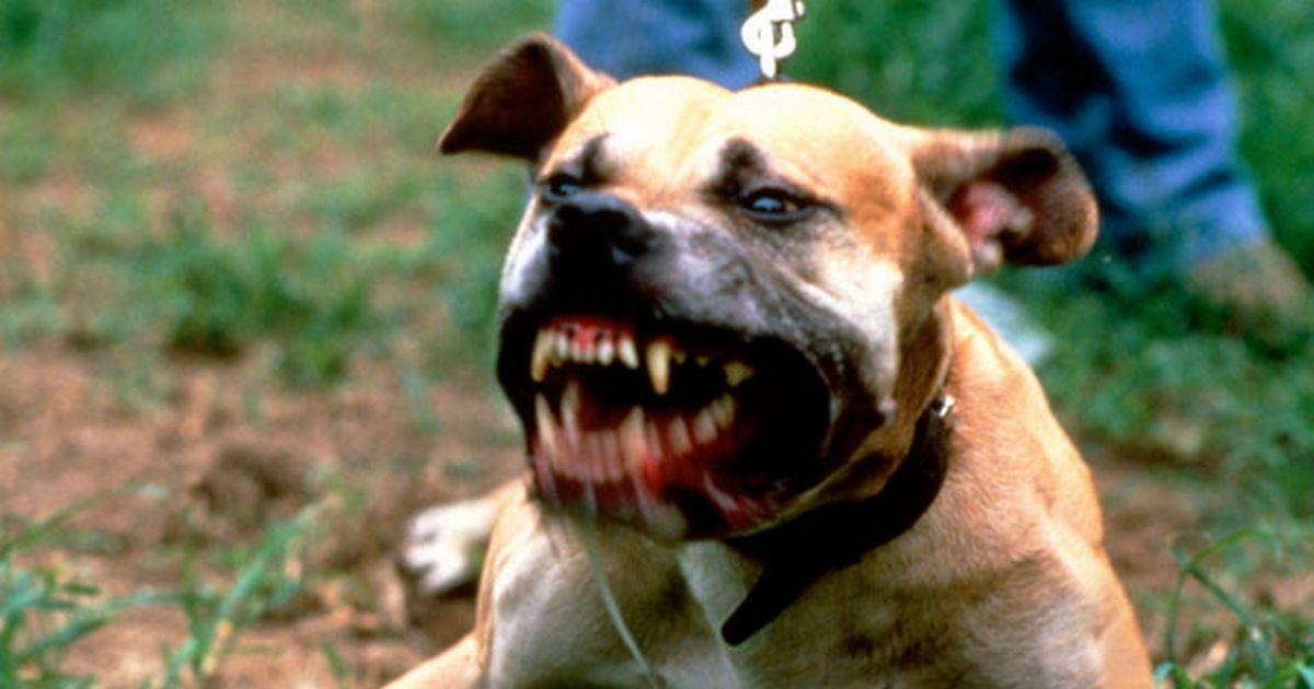 boxer chien dangereux