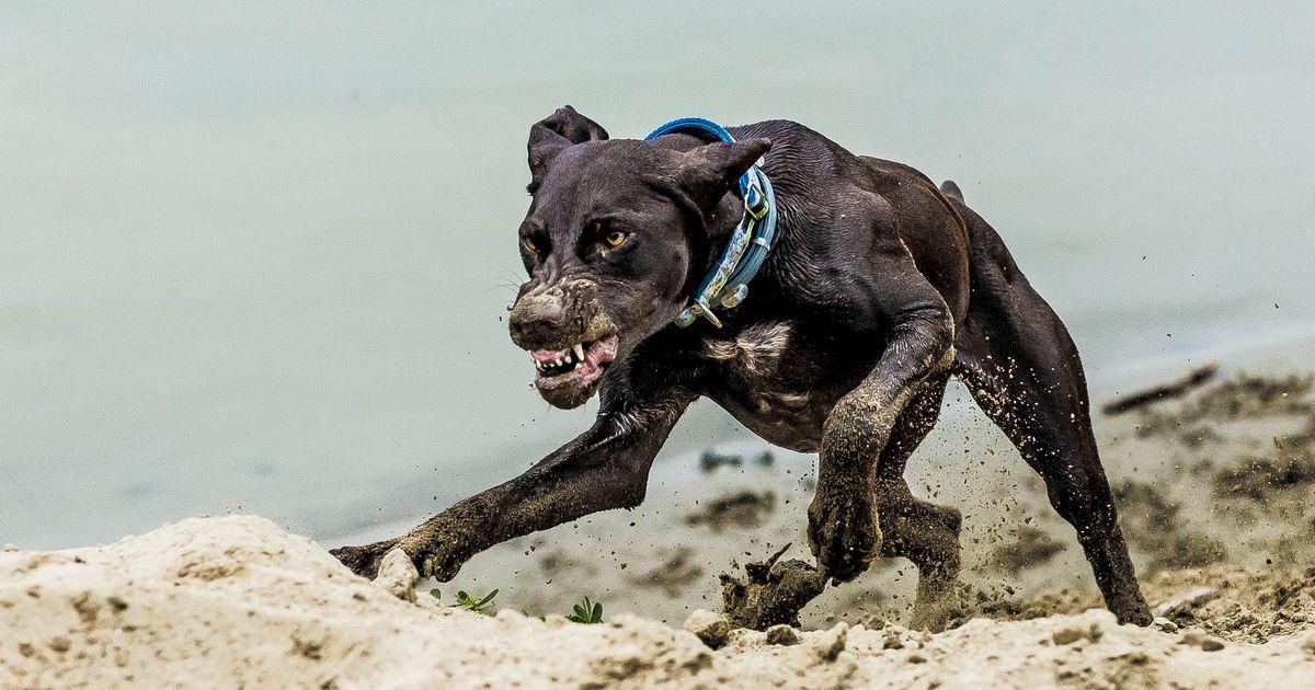 braque chien dangereux