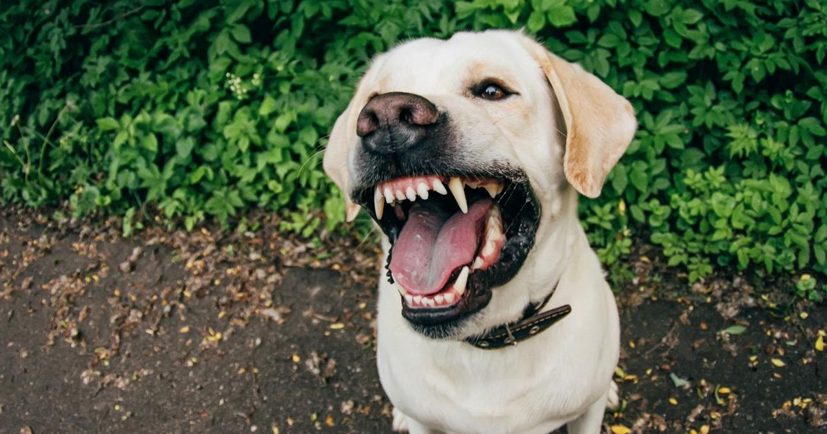 Le labrador chien dangereux