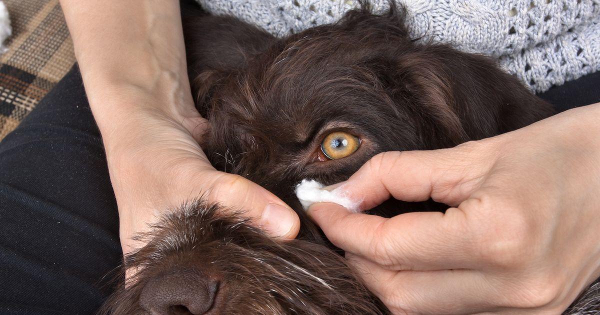 nettoyer yeux chien