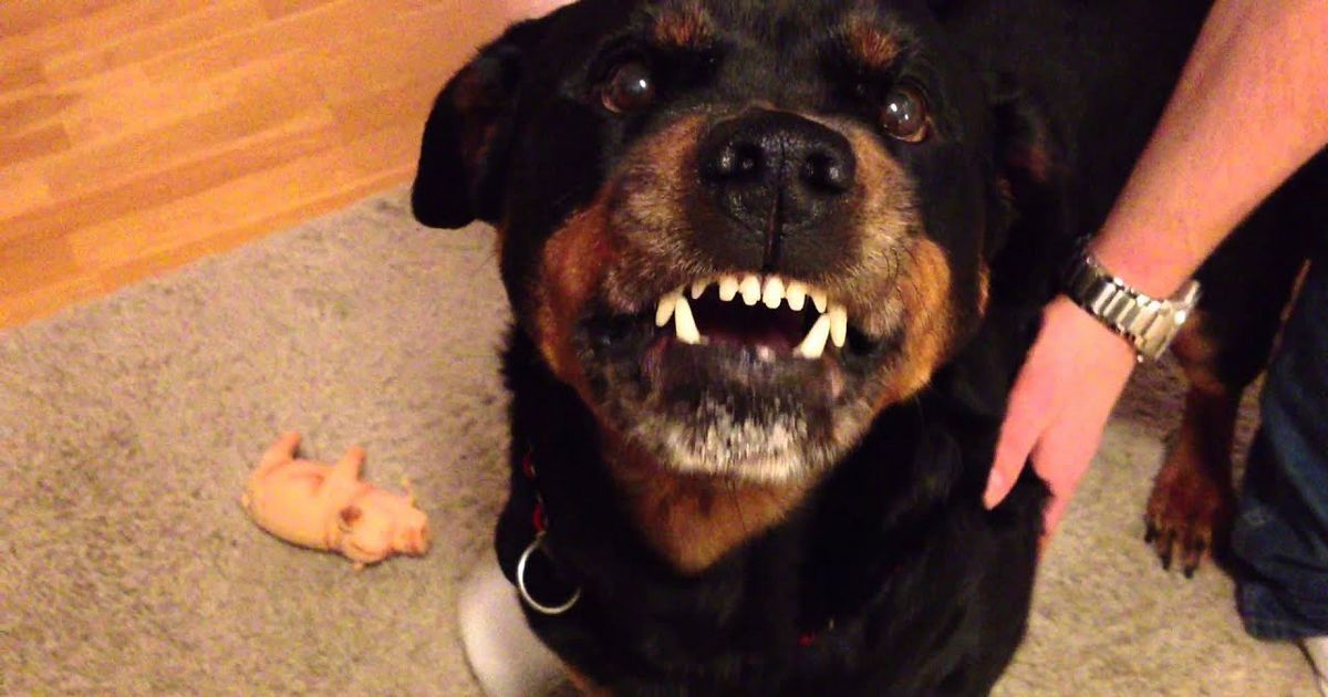 rottweiler chien dangereux