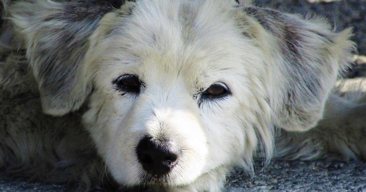 maladies infectieuses chien