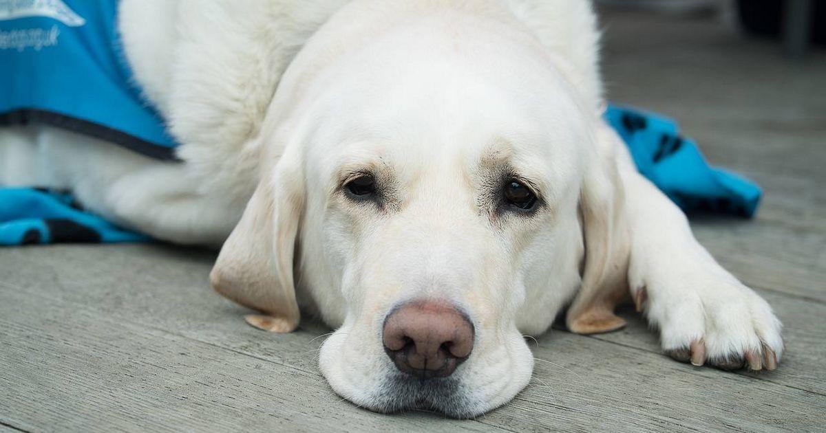 Hépatite rubarth chien