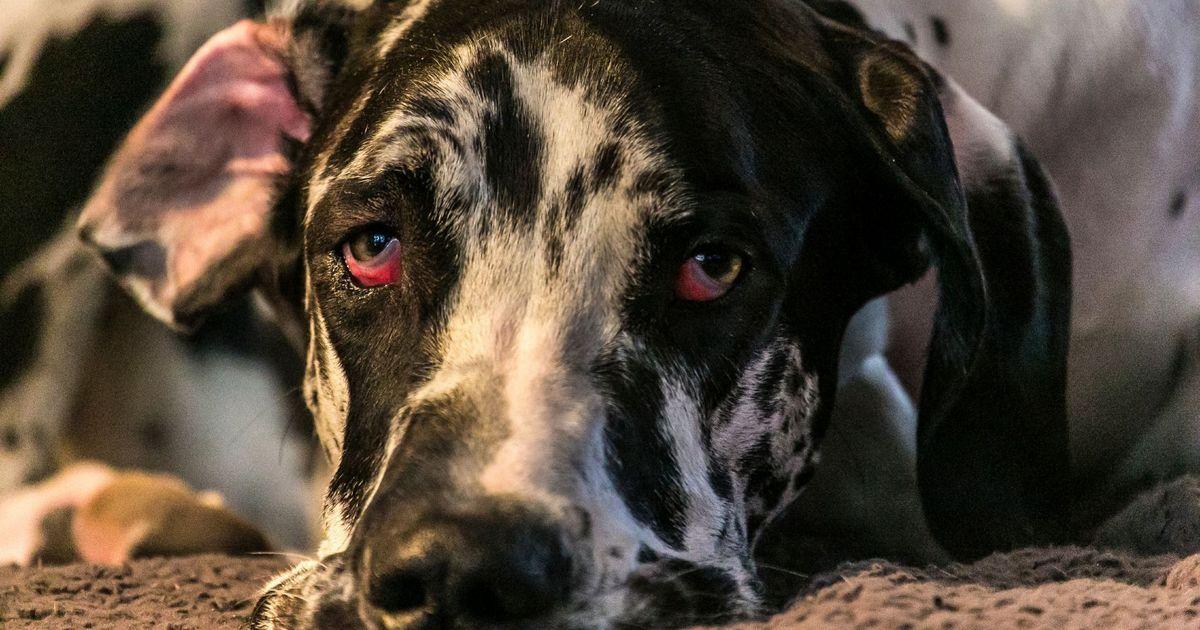 Herpèsvirose chien