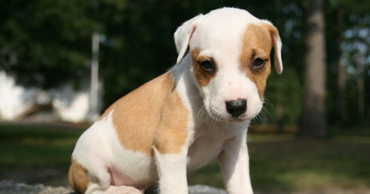 dirofilariose chien