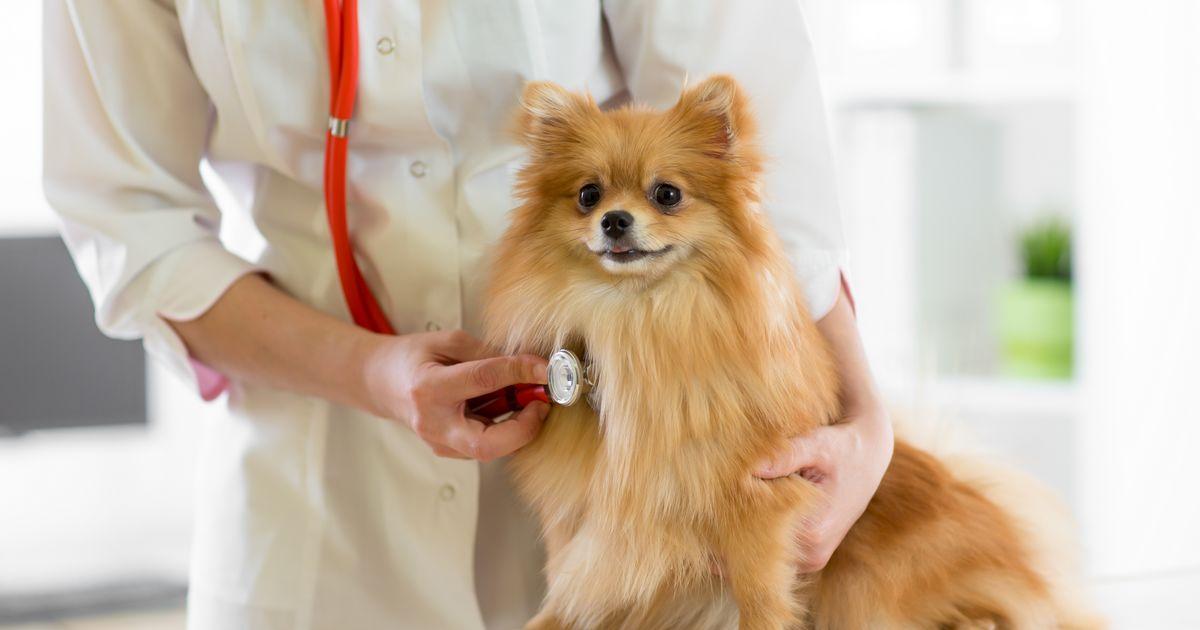 insuffisance cardiaque chien