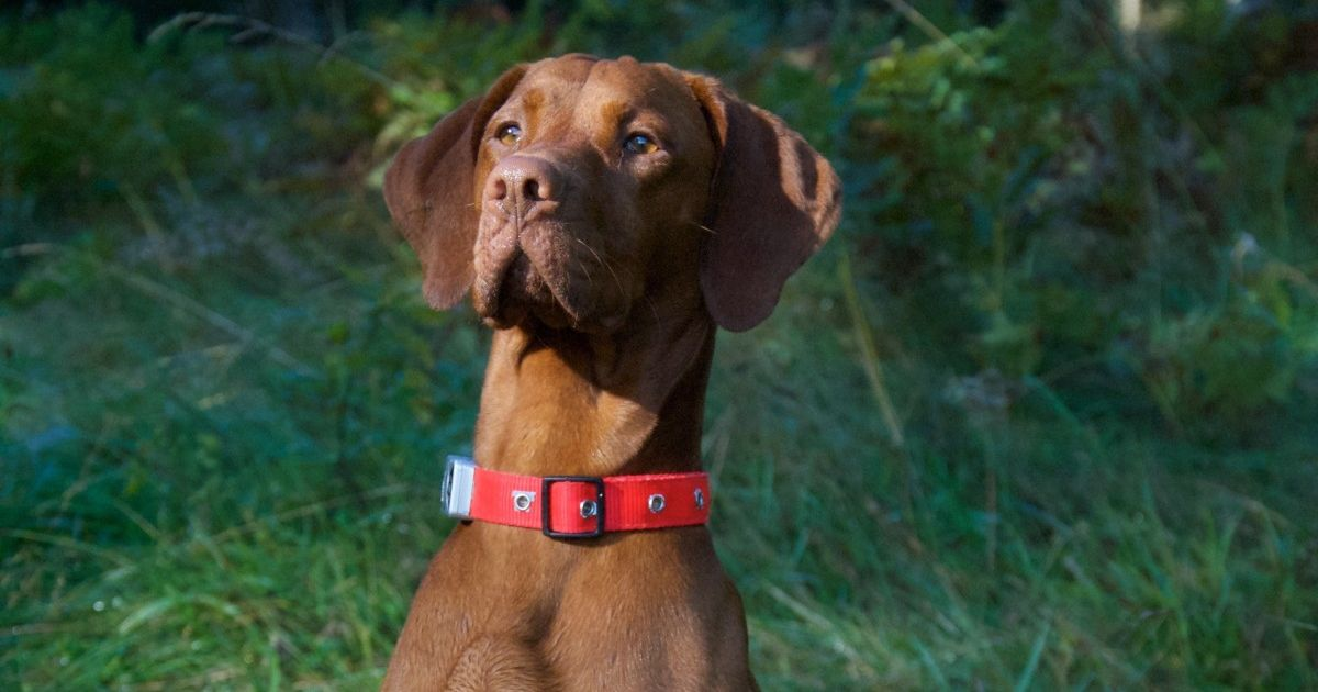 Assurance chien chasse