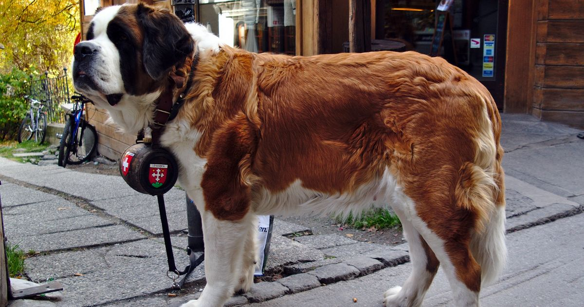 Le Saint-Bernard chiens grands