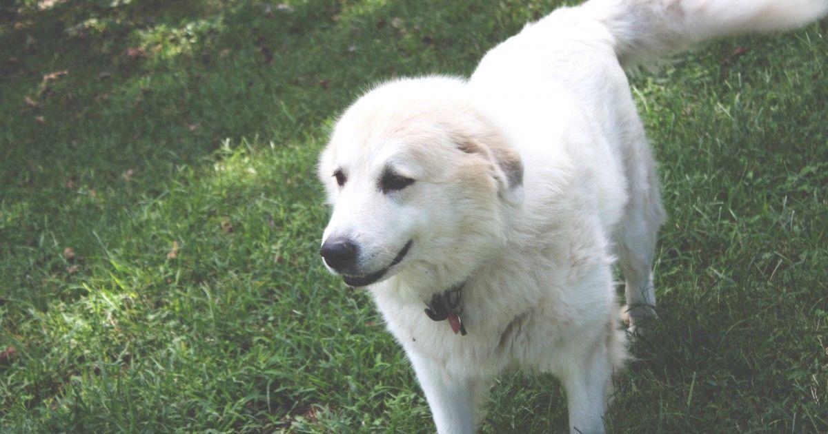 Le chien de montagne des Pyrénées