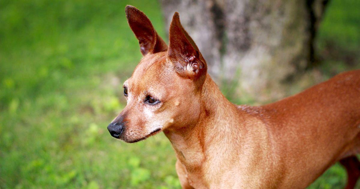 Le chien du Pharaon