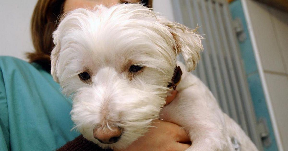 Maladie Carré chien