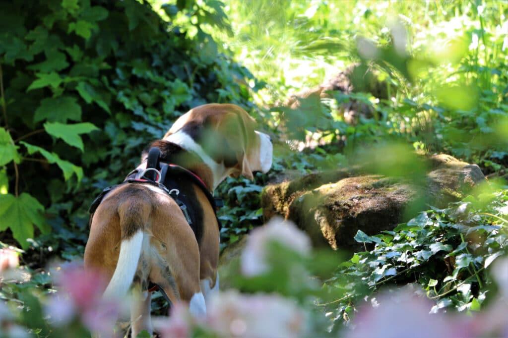 Harnais beagle