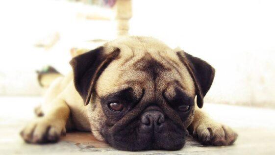 Mon chien vomit ses croquettes