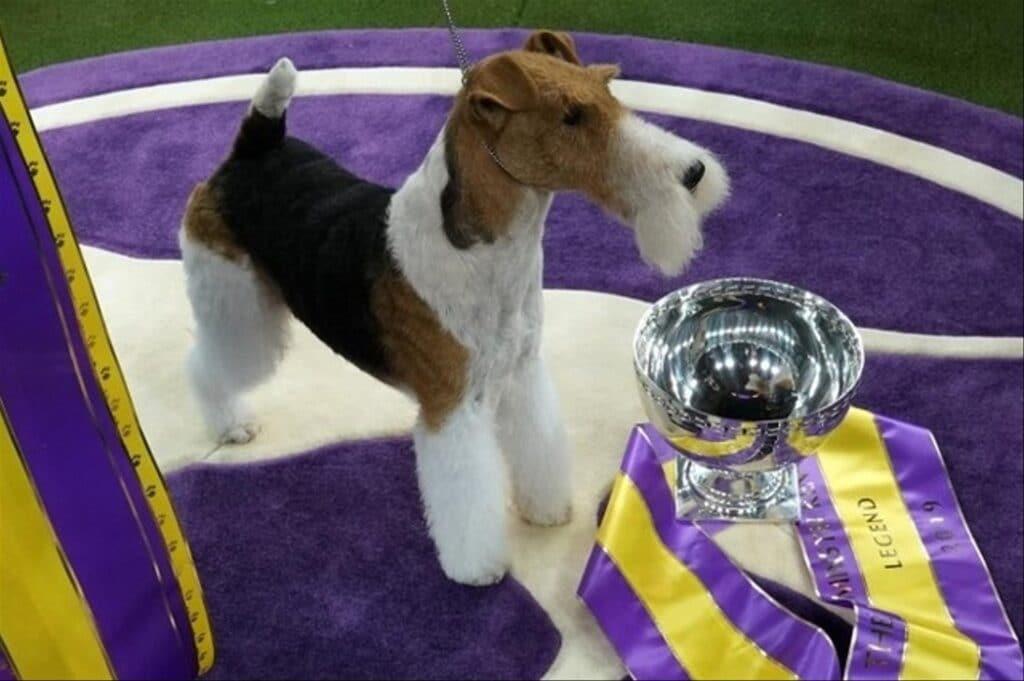 c'est King, un fox-terrier à poil dur, qui a remporté le trophée du plus beau chien du monde